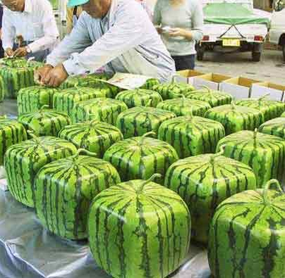 How and why square watermelons are made
