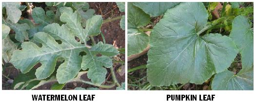 leaves watermelon pumpkin