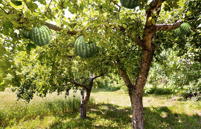 Pictures Of Watermelon Tree
