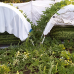 GROWING THE WORLD'S LARGEST WATERMELON (PART FOUR): ENTERING THE HOME STRETCH