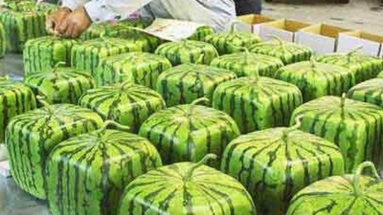 HOW (AND WHY) SQUARE WATERMELONS ARE MADE - What About Watermelon?
