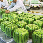 HOW (AND WHY) SQUARE WATERMELONS ARE MADE