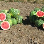 most-watermelon-grown-one-plant