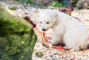 baby-polar-bear-and-watermelon