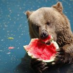 Watermelon – A Snack Fit for our Grizzly Bear Friends