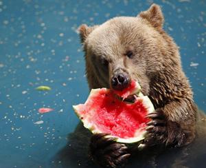 bear-eating-watermelon