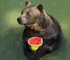 bear-holding-watermelon