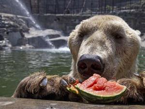 brown-bear-eating-watermelon