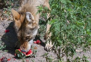 coyote-eating-watermelon