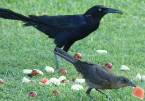 crow-eating-watermelon