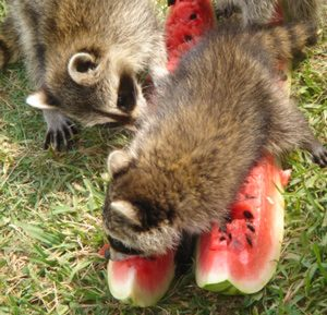 raccoon-earting-watermelon