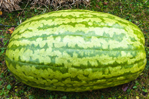 carolina-cross-watermelon-variety