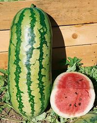 jubilee-watermelons